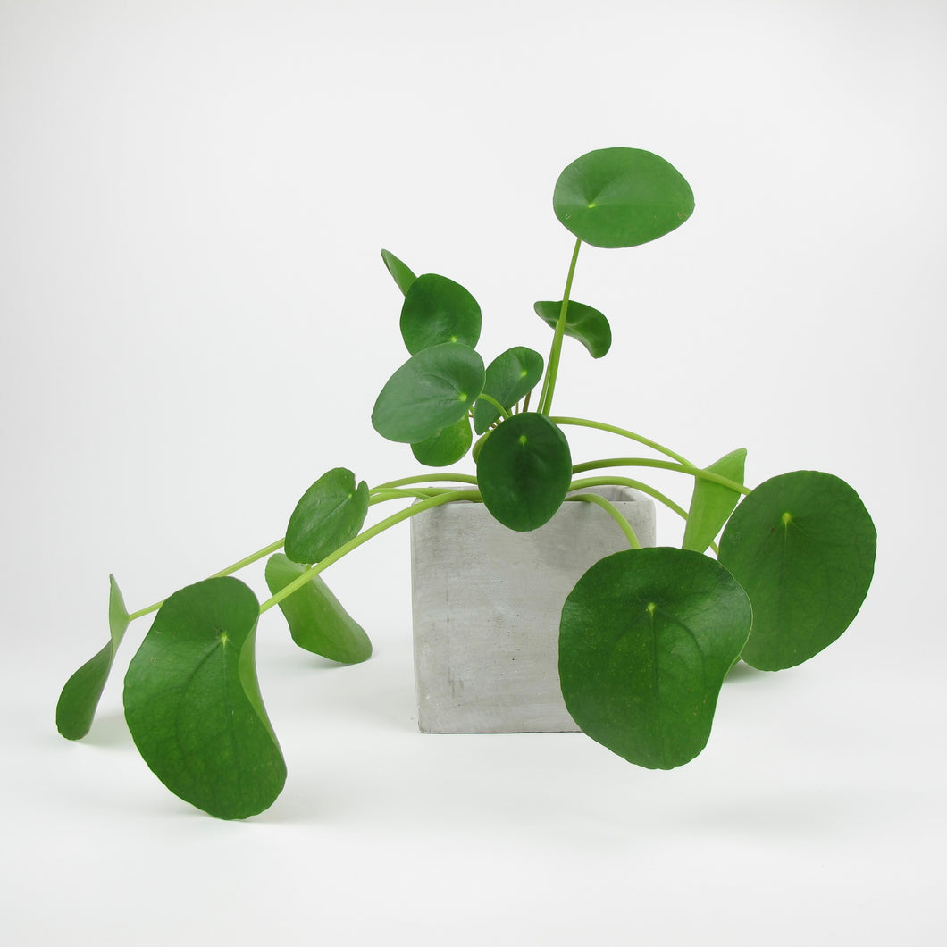 Pilea peperomioides in concrete square pot