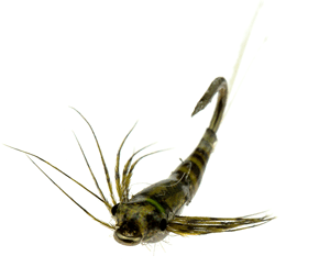 Tungsten Teardrop Baetis Nymph by Barrie Duffy