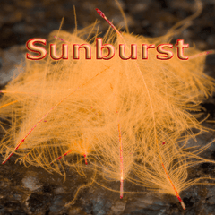 Chevron Hackles CDC  Sunburst