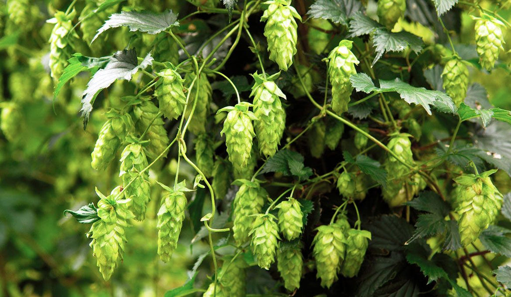 Beer - NZ Hops (Cone & Pellet)