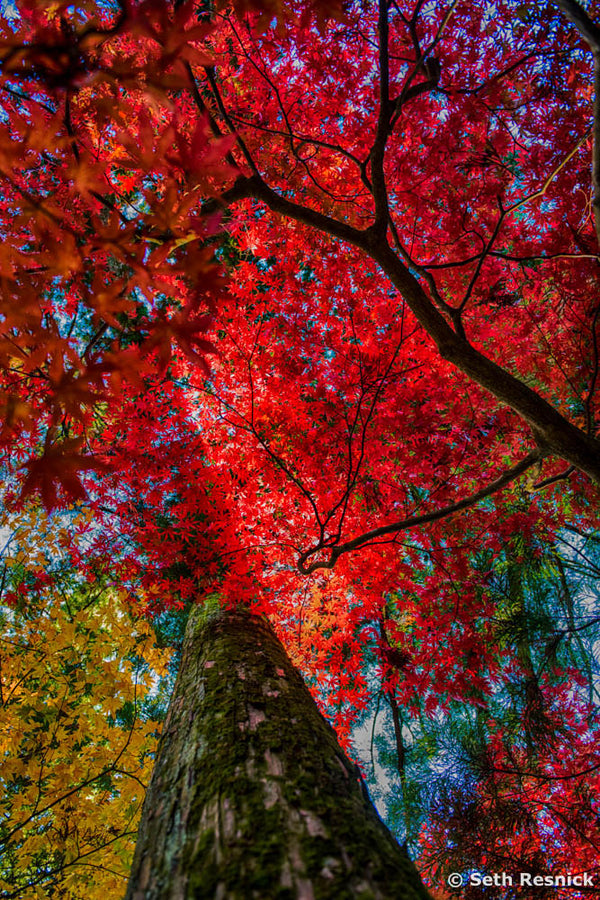Shinto Red, Japan