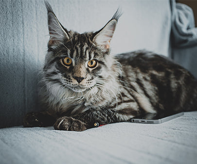 Photos Chat Type Maine Coon