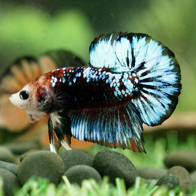 Plakat Bettas (Short Fins)