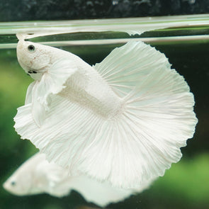 Male Halfmoon Bettas