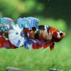 Galaxy / Multicolored Koi Plakat - Premium Quality