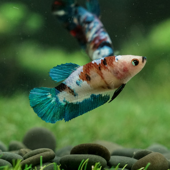 Galaxy Koi Plakat- Female