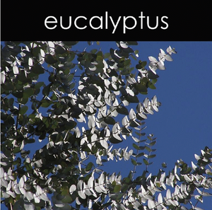 Eucalyptus Fragrance Oil
