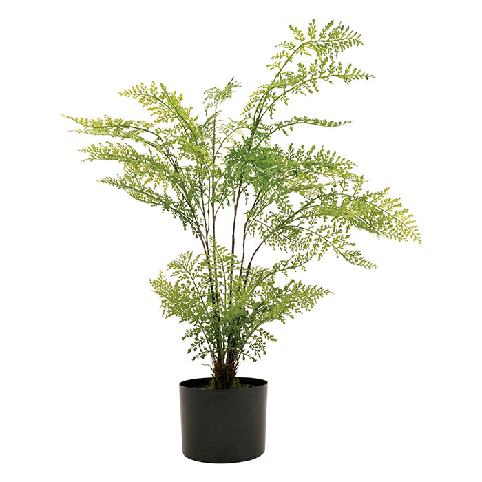 Potted Maidenhair Fern
