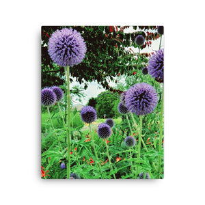 """Ornamental Onion"" Purple Allium- Canvas Photography Print -Flowering Landscape Colour Print-Various sizes available! - Salt and Light Prism Arts"