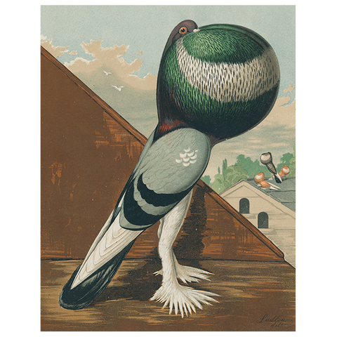 Pouter Cock Pigeon, Green (p 27)