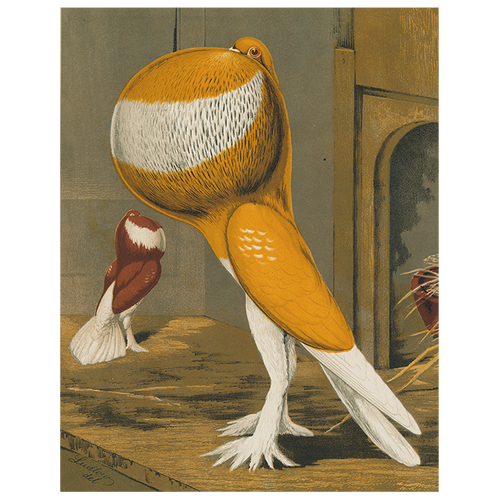 Pouter Cock Pigeon, Orange (p 28)