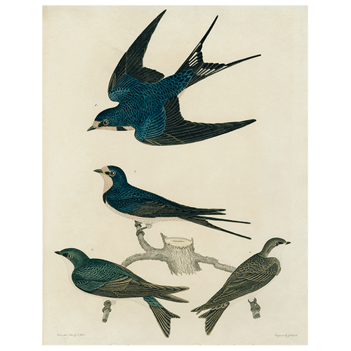 Barn Swallow (p 78)