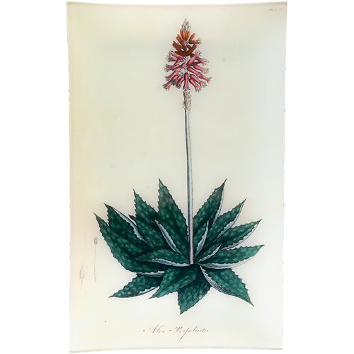Aloe - Aloe Perfoliata (History of Plants)