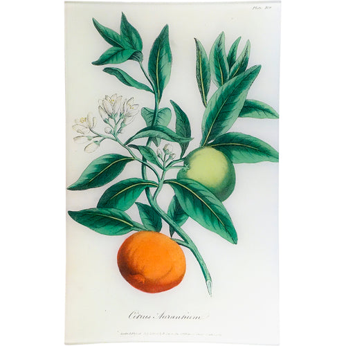 Bitter Orange - Citrus Aurantium (History of Plants)