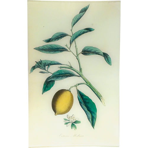 Citron - Citrus Medica (History of Plants)