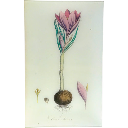 Saffron Crocus - Crocus Sativus (History of Plants)