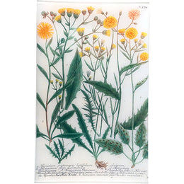 N. 574 Yellow Hawkweed