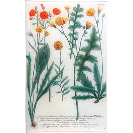N. 576 Mixed Hawkweed