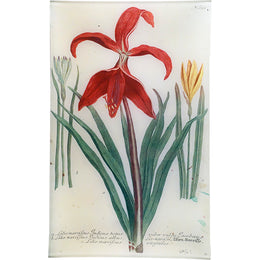 N. 652 Red Lily