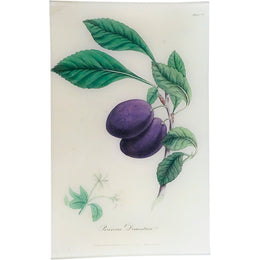 Plum - Prunus Domestica (History of Plants)