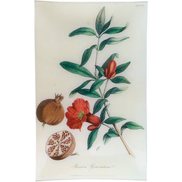 Pomegranate - Punica Granatum (History of Plants)