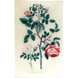 Cabbage Rose - Rosa Centifolia (History of Plants)