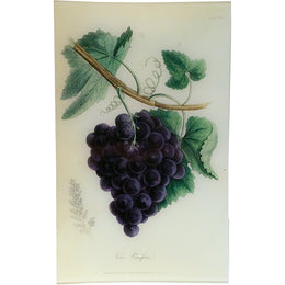 Grape Vine - Vitis Vinifera (History of Plants)