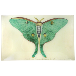 Eyed Green Butterfly