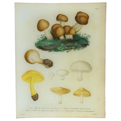 Mushrooms - Pl. 16