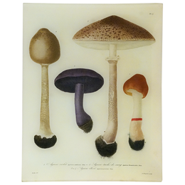Mushrooms - Pl. 17