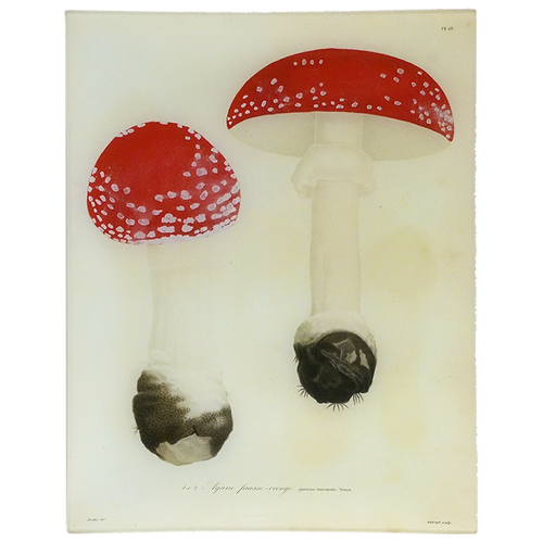 Mushrooms - Pl. 18