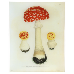 Mushrooms - Pl. 19
