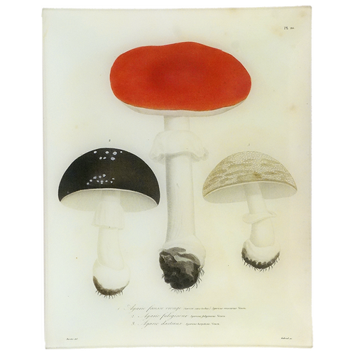 Mushrooms - Pl. 20