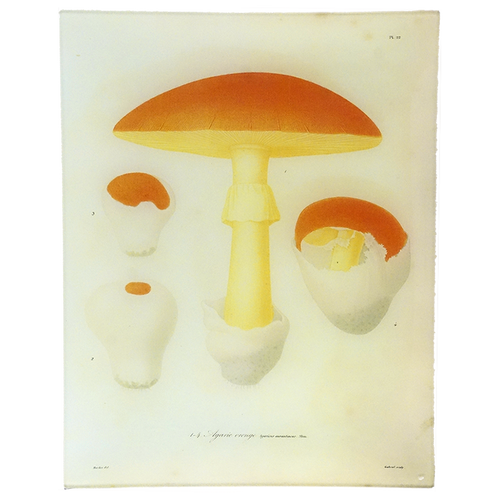 Mushrooms - Pl. 22