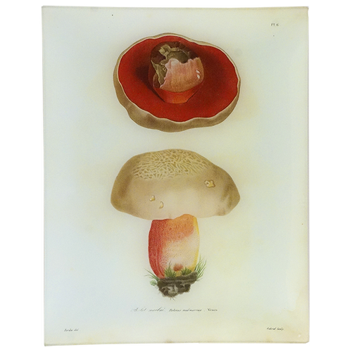Mushrooms - Pl. 6