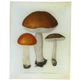 Mushrooms- Pl. 9