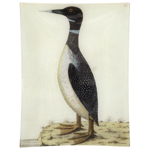 #19 - Speckled Loon