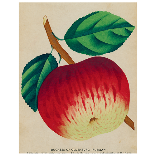 Duchess Apple (p 131)