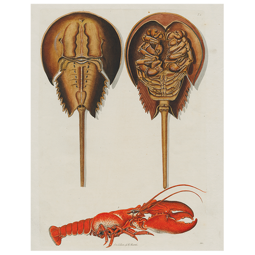 Horseshoe Crabs and Lobster (p 154)