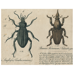 Black Beetle / Brown Insects (p 190)
