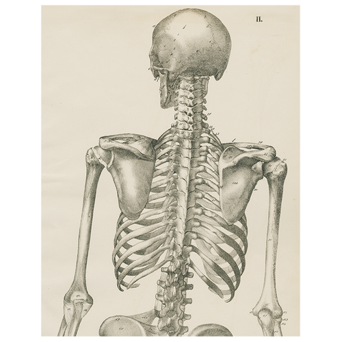 Skeleton, Back View (p 218)