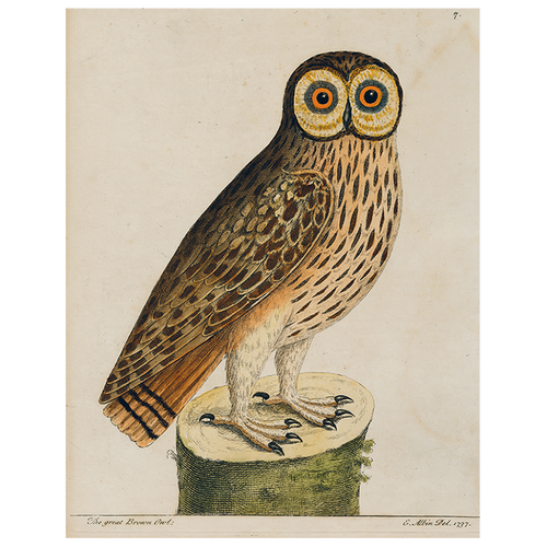 #1-Great Brown Owl (p 273)