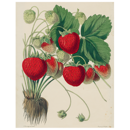 Strawberries (p 280)