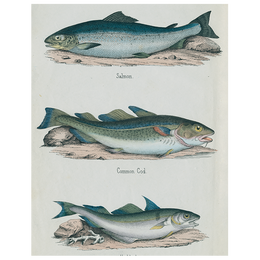 Salmon / Common Cod / Haddock (p 322)