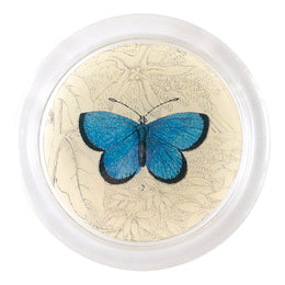 Argus Butterfly (19th c. Naturalist)