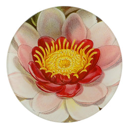 Rose Coloured Water Lily