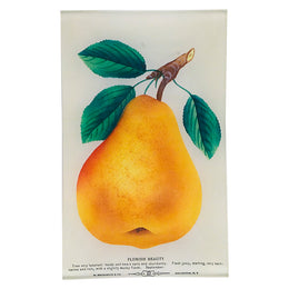 Flemish Beauty (Pear)