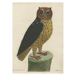 Black Wing'd Horned Owl