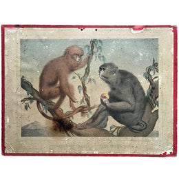 "19th Century French Lithograph ""Semnopithèque Babbu, Macaque Ordinaire"""
