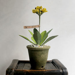 The Green Vase Potted Primula